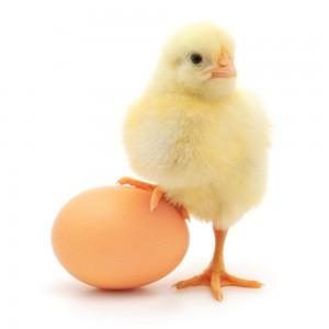 Zinktillskott kyckling och ägg
